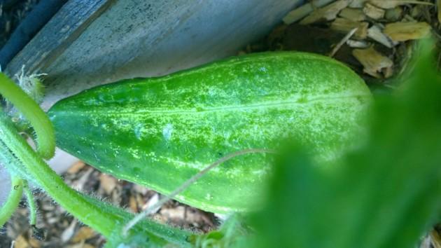 green cuke