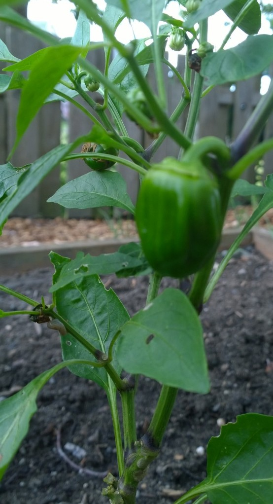 Chocolate Bell Peppers!