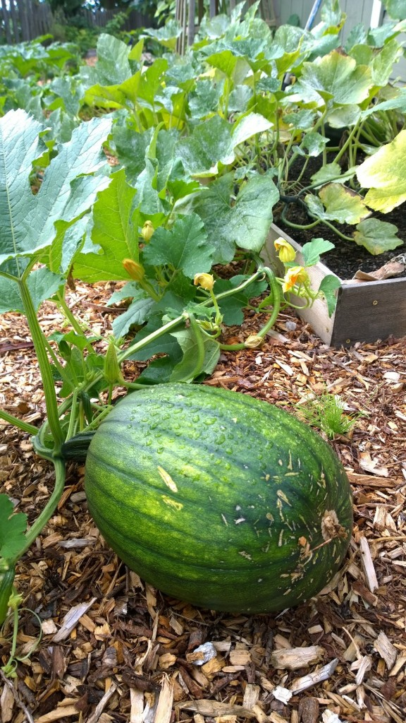 Our pumpkins are getting bigger!!